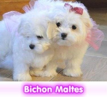 bichon maltes  cachorros perros en compra venta criadero spaceanimals