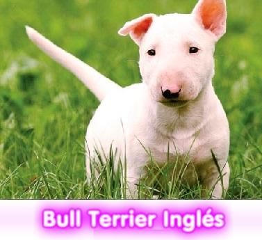 bULL TERRIER INGLES cachorros perros en compra venta criadero spaceanimals