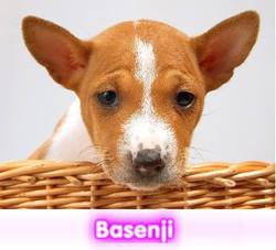 Basenji cachorros perros en compra venta criadero spaceanimals