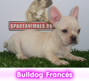 bulldog frances   cachorros perros en compra venta criadero spaceanimals
