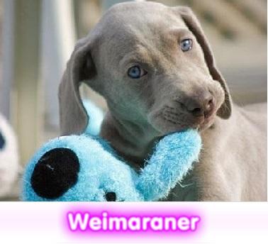 Weimaraner  cachorros perros en compra venta criadero spaceanimals
