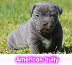 american bully  cachorros perros en compra venta criadero spaceanimals