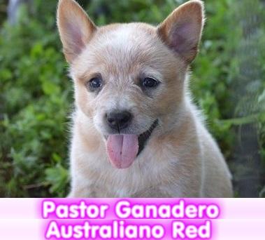 Pastor ganadero australiano RED HEELER cachorros perros en compra venta criadero spaceanimals