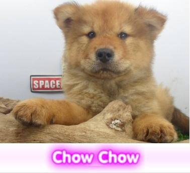 chow chow  cachorros perros en compra venta criadero spaceanimals