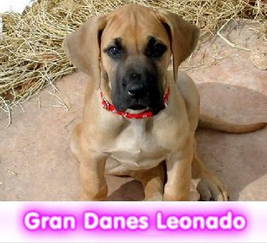 gran danes leonado cachorros perros en compra venta criadero spaceanimals