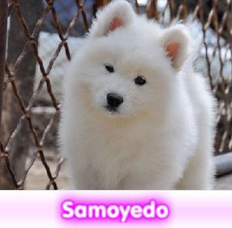 SAMOYEDO cachorros perros en compra venta criadero spaceanimals
