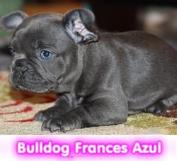 bulldog frances azul  cachorros perros en compra venta criadero spaceanimals
