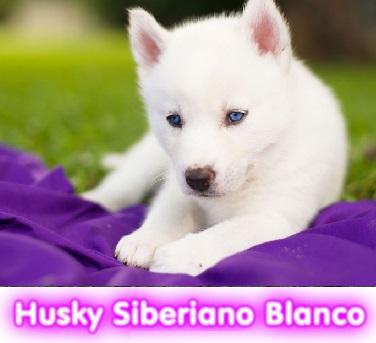 Husky siebri cachorros perros en compra venta criadero spaceanimals - copia - copia