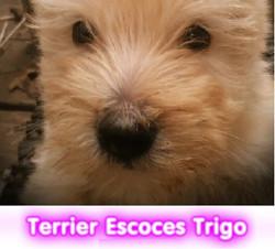 terrier escoces trigo cachorros perros en compra venta criadero spaceanimals