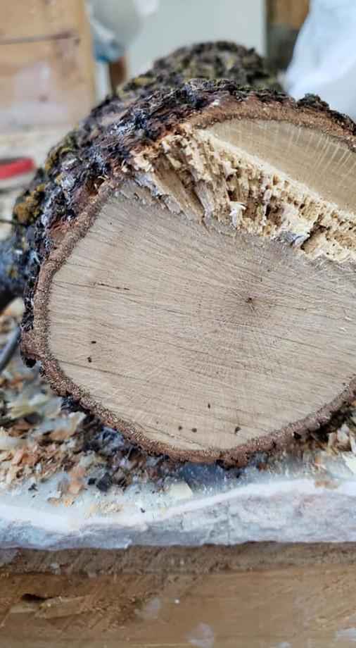 turbinella oak.jpg