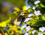 Hummingbird_3.JPG