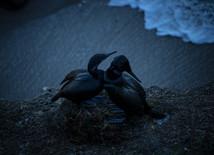 Wildlife_Cormorants