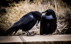 Wildlife_Ravens