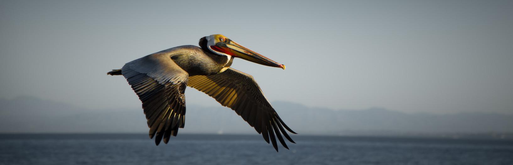 Wildlife_Pelican