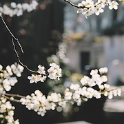 White blossom website background.webp