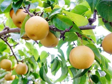 【梨】は美味しいだけじゃない♪秋の味覚の10の素晴らしい効能