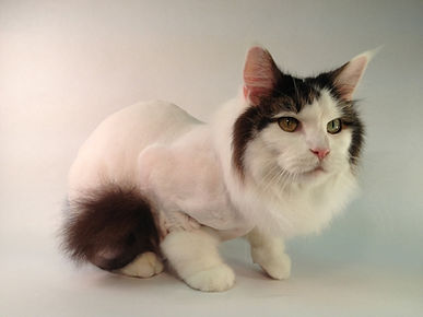cat-lion-cut.jpg