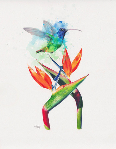 Hummingbird Paradise: Watercolour and pencil on paper