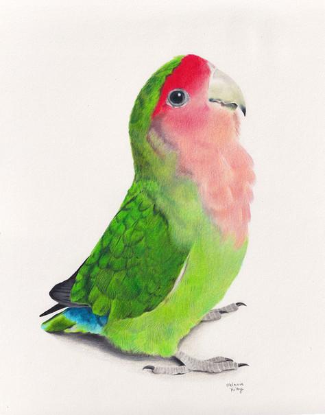 Lovebird: Pencil on paper