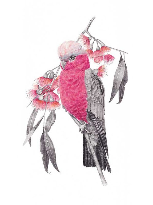 Galah with Eucalyptus