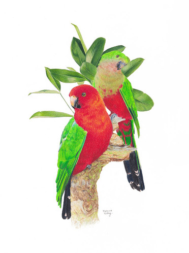 King Parrots: Pencil on paper