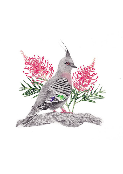 Crested Pigeon with Grevillea: Pencil on paper