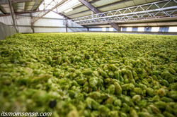 Wapato Hops Drying