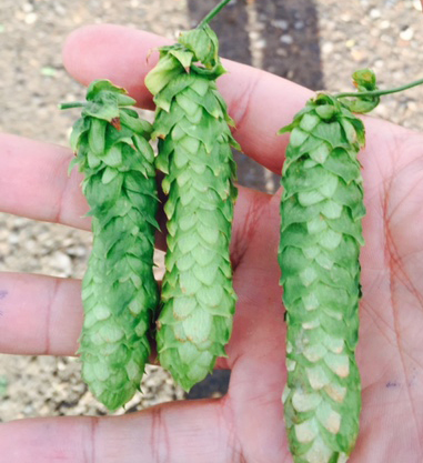 Simco Yakima Valley Hops