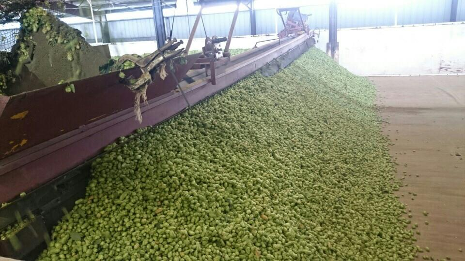 Processing Yakima Valley Hops