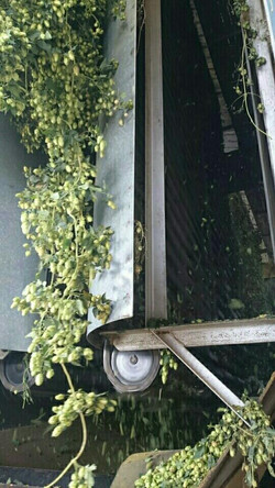 Gasseling Hops Processing