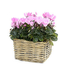 original_vintage-pink-cyclamen-basket_ed