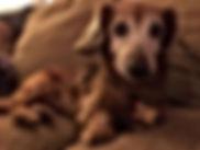 Scarlett a senior dog at sanctuary