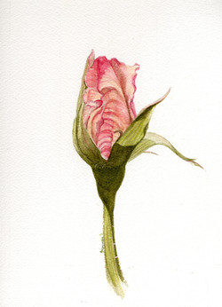 Salmon Rose Bud
