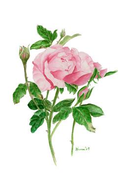 Dual Roses
