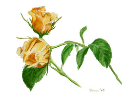 Apricot Rose Bud Duo