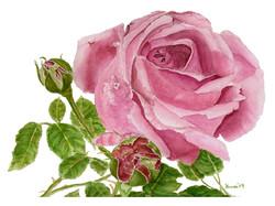 Dusty Rose