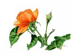 Orange Flower with Bud