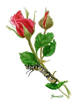 Monarch Caterpillar on Rose