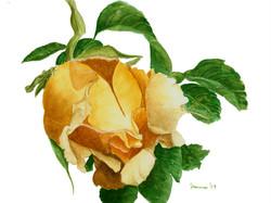 Apricot Rose Bud