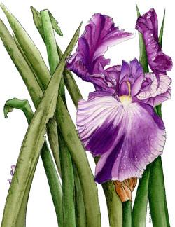 Stateley Iris