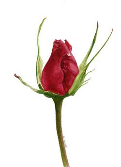 Stately Rose Bud