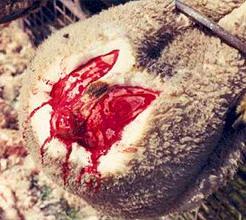 Mulesed sheep