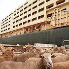 live export ship sheep.jpg