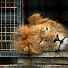 Stardust-Circus-lion.jpg