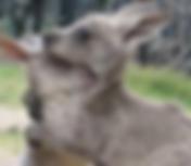kangaroos.png