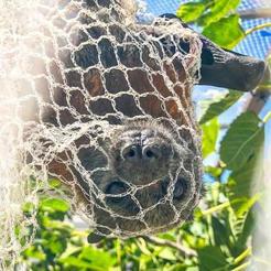 Flying fox caught in tree netting