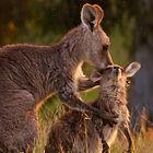 kangaroo mother and child.jpg
