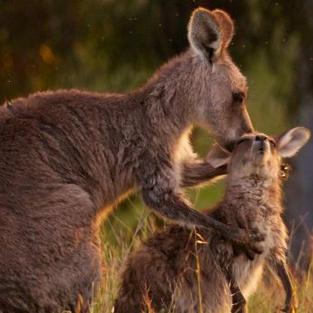 Kangaroo culls