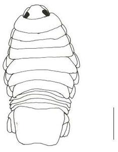 Anatomie Cymothoa exigua © Oscar Basilio Del Rio Zaragoza