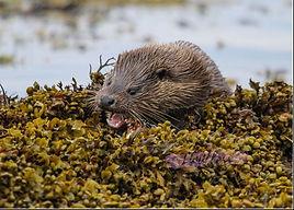 eating otter.jpg
